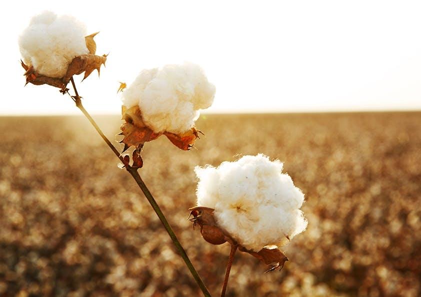 Die Poesie der Baumwolle – Teil 2