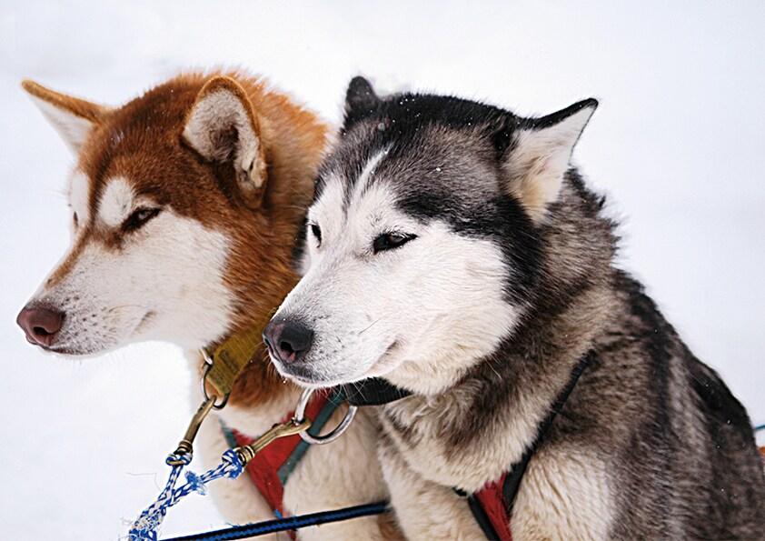 Zwei Husky-Hunde im Schnee